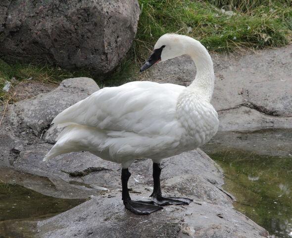 File:Trumpeter Swan.jpg