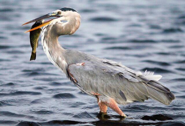 File:Great Blue Heron.jpg
