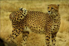 File:Cheetah.jpg