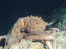 File:North Pacific Giant Octopus.jpg