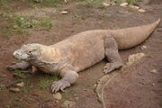 Komodo Dragon