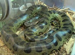 File:Green Anaconda.jpg