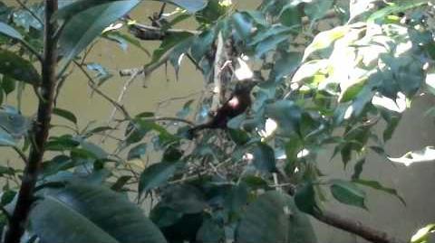 Ein unbekannter schwarzer oder dunkelbrauner Vogel im Zoo Augsburg - 18. Mai 2013