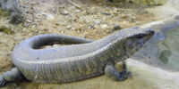 Giant North American Lizard