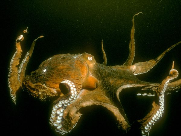 File:Pacific-octopus 655 600x450.jpg