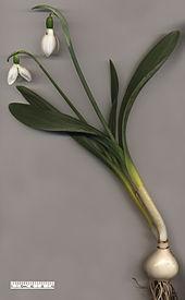File:170px-Snowdrop Galanthus elwesii.jpg