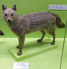 File:220px-Canisaureusmoreoticus.jpg