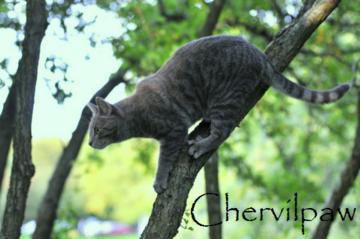 Chervilpaw