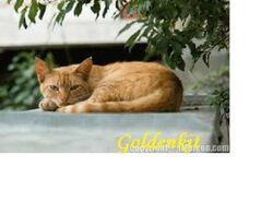 Goldenkit