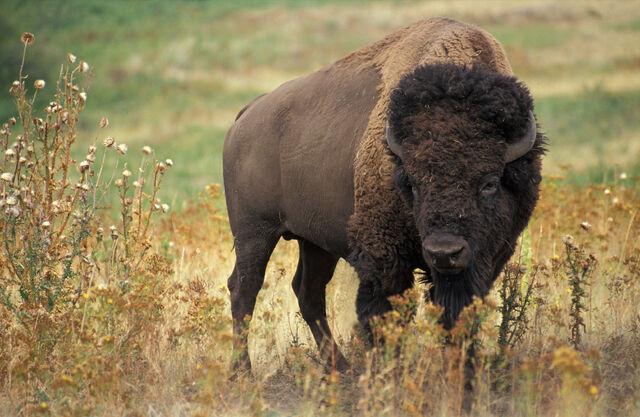 File:American bison k5680-1-1-.jpg