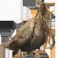 Elder Turkey