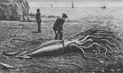 Trinity Bay squid