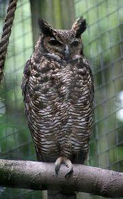 Bubo virginianus nacurutu - Otter, Owl, and Wildlife Park