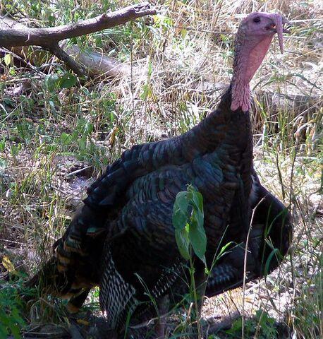 File:572px-Meleagris gallopavo Wild Turkey.jpg