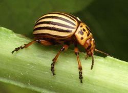 Slika:Colorado potato beetle.jpg
