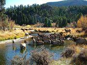 Elk RMNP