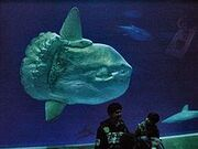 Sunfish size comparison