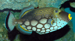 File:Clown Triggerfish.jpg