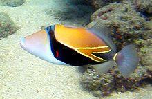 File:Reef Triggerfish.jpg