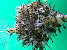 File:Tassle Filefish.jpg