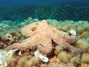 220px-Octopus2