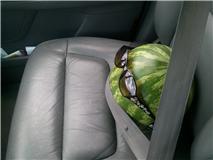 File:Watermellon Bestie.jpg