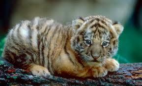 File:Tiger19.jpg