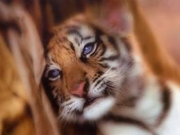 File:Snuggle Tiger.jpeg