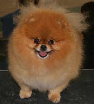 File:Pomeranian picture.jpg