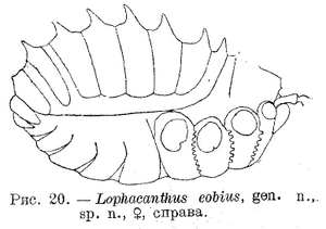 Lophacanthus eobius 1