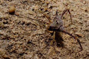 Opilião (Gonyleptidae) 3a