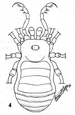 Paratricommatus modestus Piza-1943b