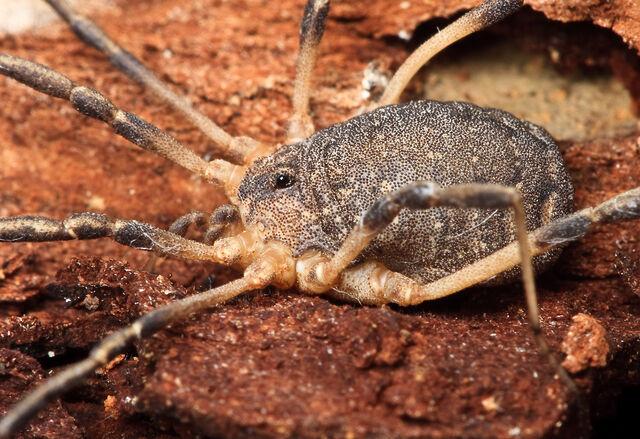 File:Eumesosoma roeweri - Junction TX - Hedin.jpg