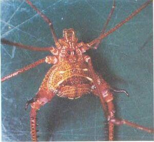 Caelopygus elegans Perty-1833