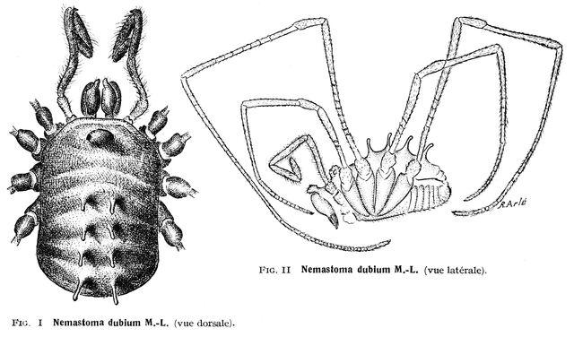 File:Nemastomella dubia (Mello-Leitão, 1936).jpg