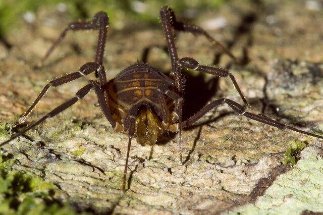File:Opilião (Gonyleptidae, Pachylinae) b.jpg