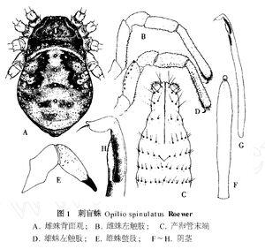 Himalphalangium spinulatum (Roewer, 1911) by Zhu & Song 1999