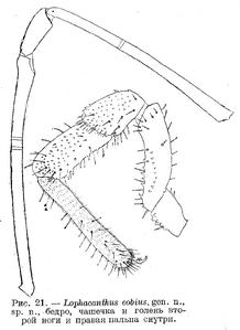 Lophacanthus eobius 2