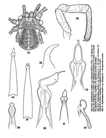 File:Pamiropilio suzukii (Šilhavý, 1972).jpg