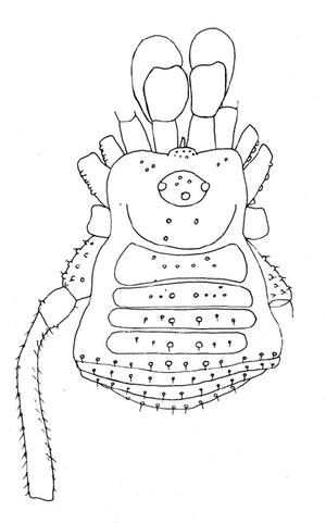 Paratricommatus mahnerti S&S-1985a