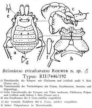 Beloniscus tricalcaratus Roewer-1949a