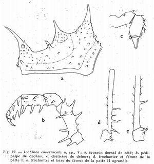 Ivohibea cavernicola
