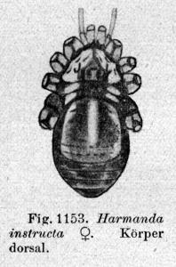 Harmanda instructa