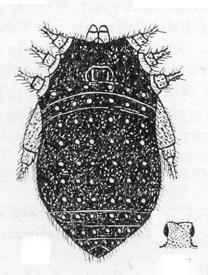 Euzaleptus pilosus