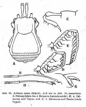 Arbasus caecus simon-1911