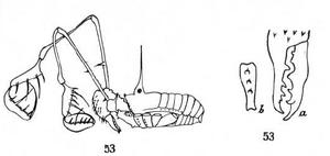 Kuchingius megalopalpus Roewer-1927a