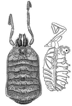 Caucnemastoma golovatchi Martens 2006 ma from Russia, from original description