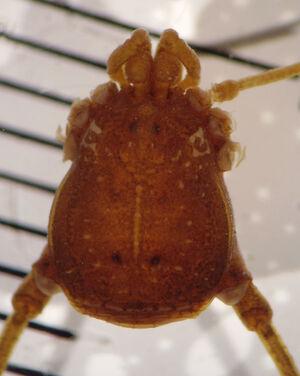 Gryne dimorpha mnrj 1382 campo grande MS dorsal corte