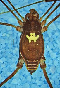 Taito oblongatus (MNRJ 2408) Sucumbios