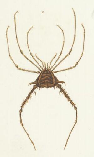 Gonyleptes acanthopus2